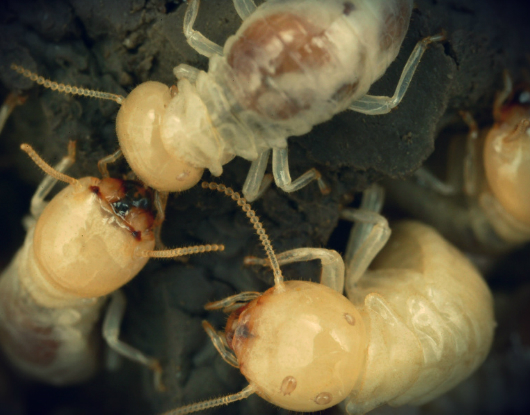10-Unknown-Facts-About-Termites-AUSInspections -- pest inspection Sydney