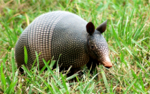Armadillo-AUSInspections -- Pest Inspections Sydney