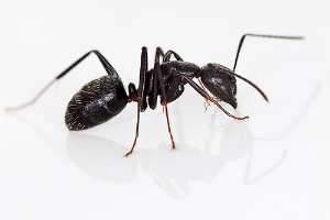Carpenter-Ant-AUSInspections -- pest inspection Sydney
