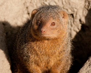 Dwarf-Mongoose-AUSInspections -- building and pest inspection Sydney
