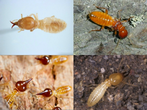 Different-Kinds-of-Termites-AUSInspections -- pre sale building inspection